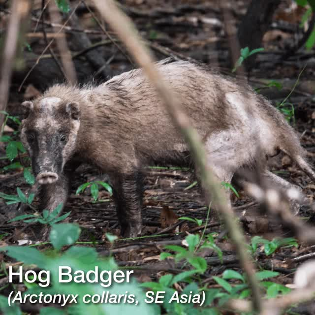 Watch and share Honey Badger GIFs and Hog Badger GIFs by hufflepuffjim on Gfycat