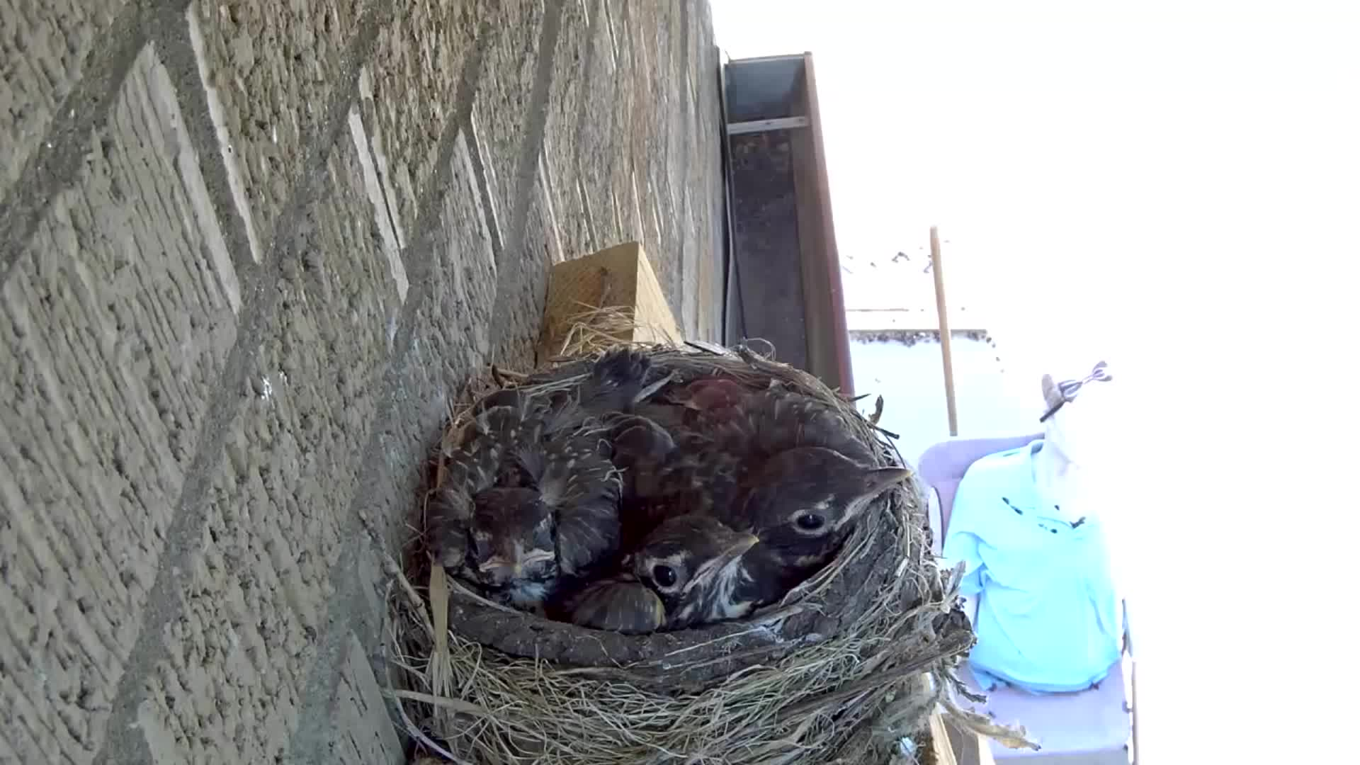 Hawk, Nest, Paul Chandler, Pets & Animals, Robin's, Hawk steals two 14 day old baby robins right out of nest GIFs