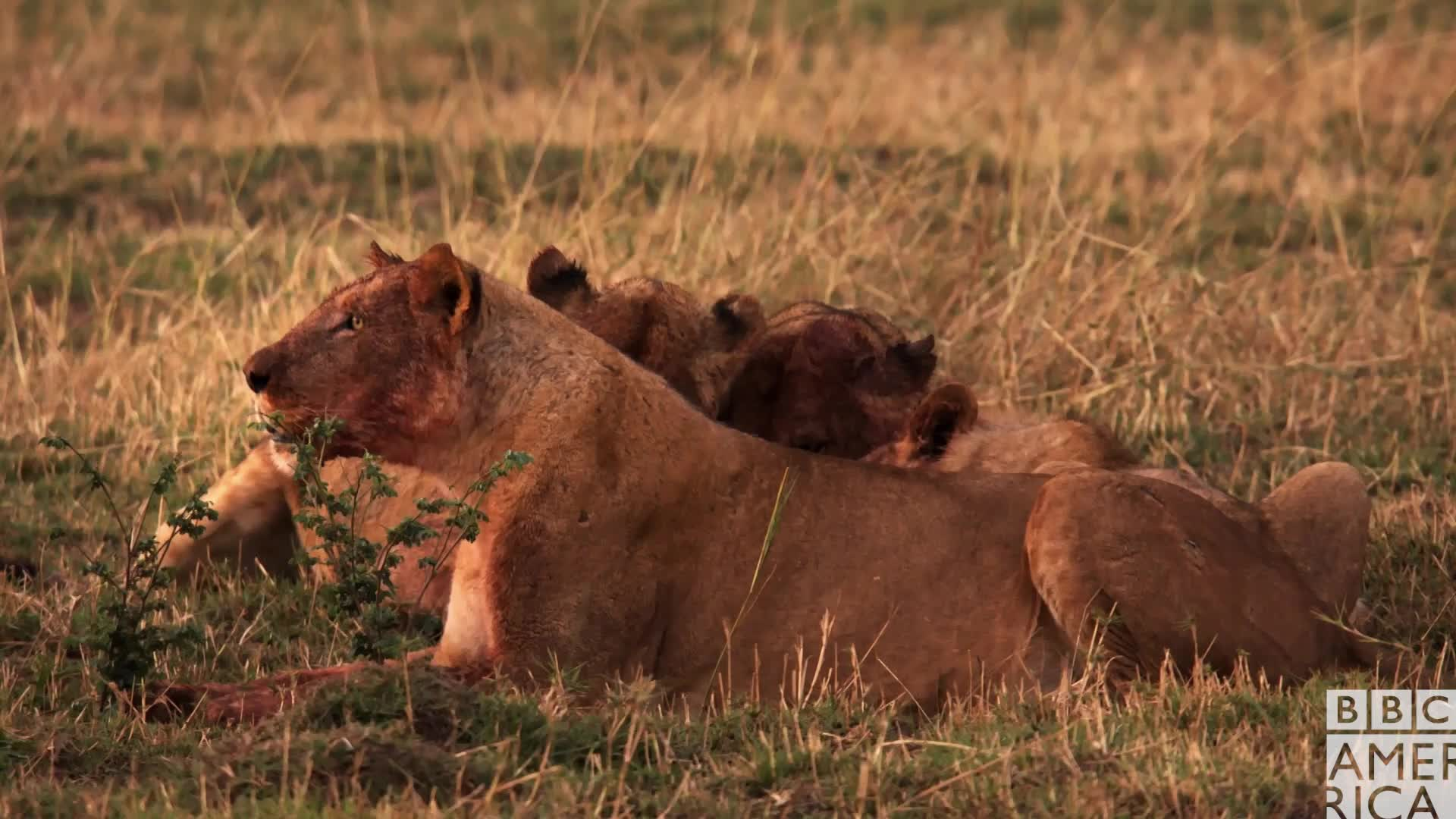 animal, animals, bbc america, bbc america dynasties, bbc america: dynasties, dinner, dynasties, eating, food, hungry, painted wolf, painted wolves, wolf, wolves, Dynasties Lions Eating the Wolves' Dinner GIFs