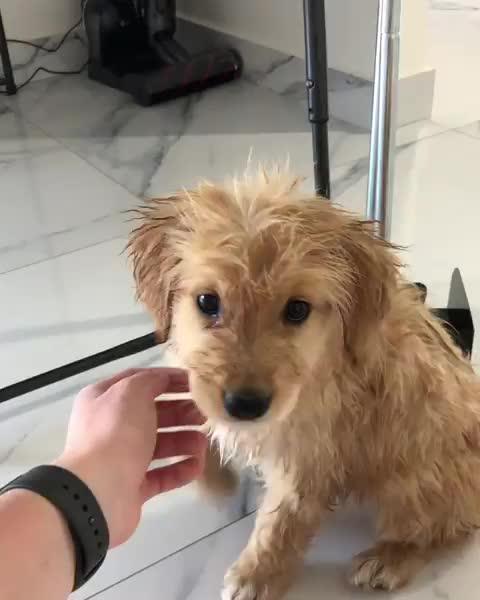 boop, cute, dailyfluff, dailygolden, dailypuppy, dog, dogsofinstagram, dogsrule, gloriousgoldens, golden, goldenretriever, goldenretrieverpuppy, happypuppies, instadogs, instagramdogs, puppies, puppiesofinsta, puppy, puppylove, retrieversrule, pupper after a bath GIFs