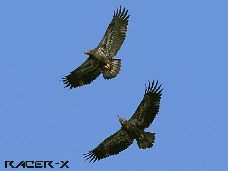 Eagles. GIFs