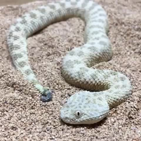 Watch and share Sahara Sand Viper GIFs by Boojibs on Gfycat