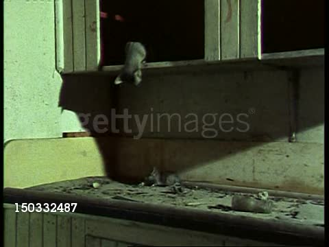 Ringtail pounces on a Pack Rat GIFs