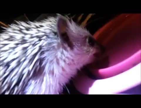 Watch hedge GIF on Gfycat. Discover more hog GIFs on Gfycat