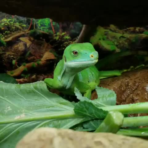 Watch and share Iguana GIFs by Crazy Cody's Creatures  on Gfycat