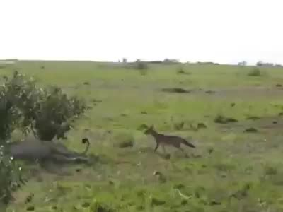 Watch and share Fox Annoying A Lion GIFs and Wild Life GIFs by Random Laugh on Gfycat