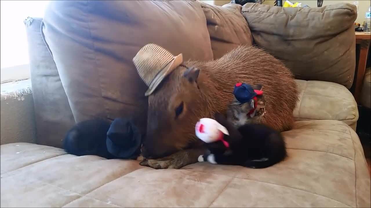animals, awesome, capybara, capybaras, kittens, Cats in Hats GIFs