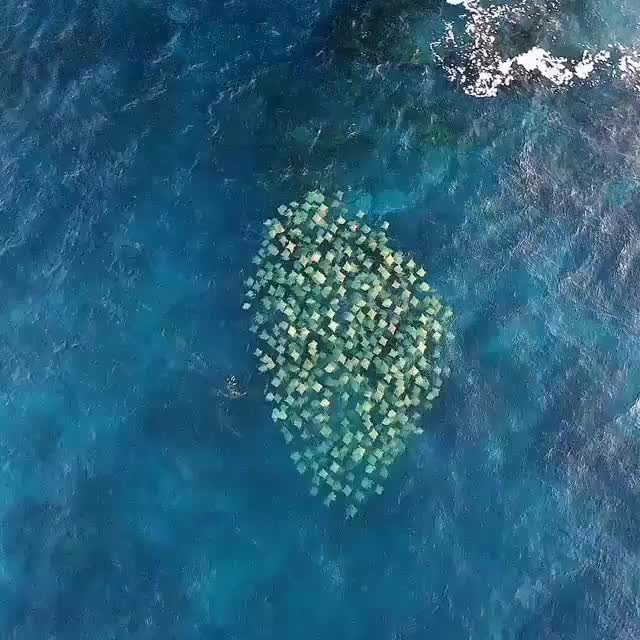 Watch A pod of Australian Cownose rays swimming off Bondi Beach GIF by tothetenthpower (@tothetenthpower) on Gfycat. Discover more related GIFs on Gfycat