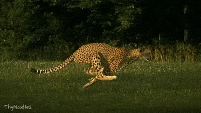 Watch and share Cheetah GIFs on Gfycat