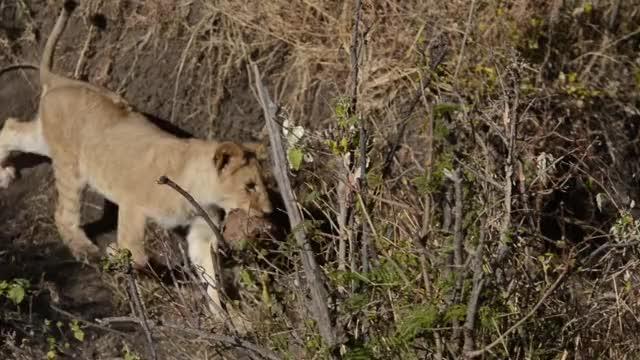 Watch Lion Cub in Mara Nasboiho GIF by @basecampexplorer on Gfycat. Discover more Lion Cub, Mara Naboisho GIFs on Gfycat