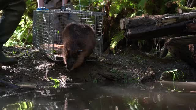 beaver reintroduction (waypoint 5)