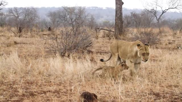 Watch and share Mhangeni Female And Cubs GIFs by Londolozi Game Reserve on Gfycat