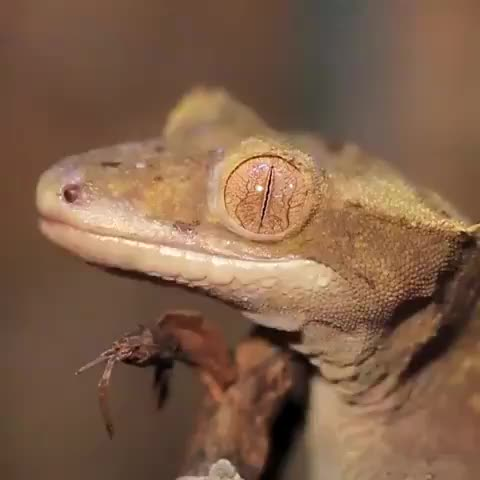 biology, geckos, r/sciences, Most geckos do not possess eyelids; they feature a clear scale that covers the eye much like the spectacles on snakes' eyes GIFs