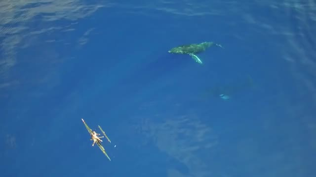 Watch and share Humpback Whales GIFs and Hawaii GIFs on Gfycat