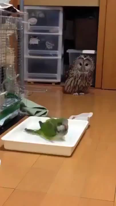 Watch Paw some Animals   Curious owl GIF on Gfycat. Discover more Superbowl, popular, youseeingthisshit GIFs on Gfycat