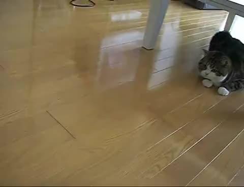 Watch maru GIF on Gfycat. Discover more cat, funny, maru GIFs on Gfycat