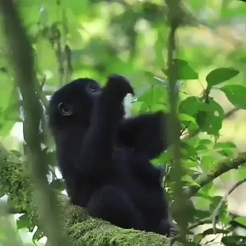beatiful, fauna, floresta#diamundialdasflorestas, forestday, gorilla, linda, love, nature, perfeita, wonderful, Protejam o Congo Protejam Rwanda Protejam Uganda Protejam os Gorilas Protejam Virunga Protejam os Rangers Protejam seus protetores Protejam GIFs