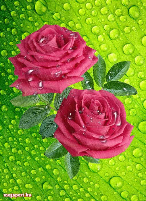 Watch and share Wet Roses GIFs and Fowers GIFs by MEGAPORT.hu on Gfycat