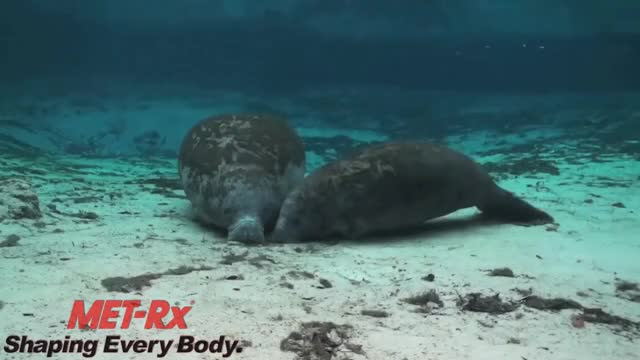 Watch and share Get Swole With The MET-Rx MANatee! GIFs by captainsnarkypants on Gfycat