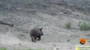 Watch rhino GIF on Gfycat. Discover more related GIFs on Gfycat