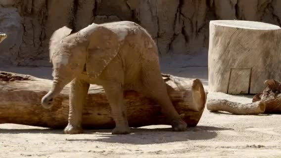 Watch Itchy butt. (reddit) GIF on Gfycat. Discover more babyelephantgifs GIFs on Gfycat