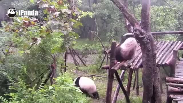 Watch and share Panda Fail Climbing .... GIFs on Gfycat