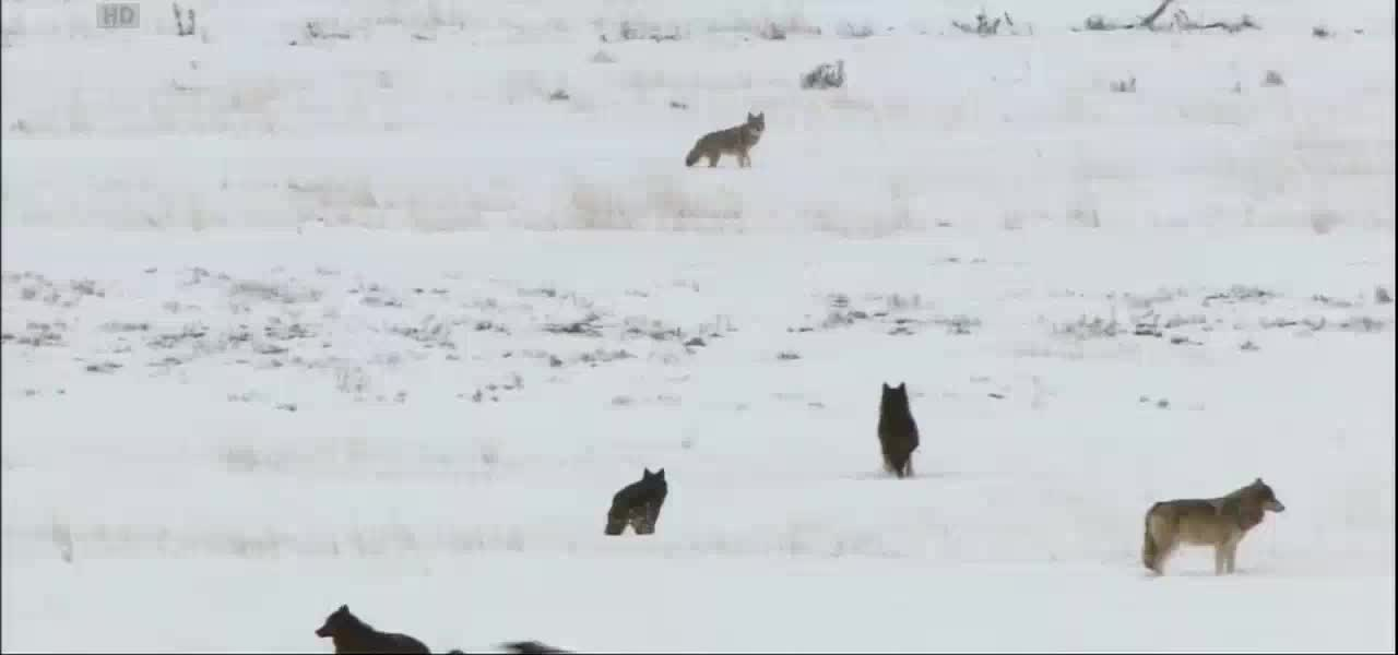 Wolves vs coyote [HD] GIFs