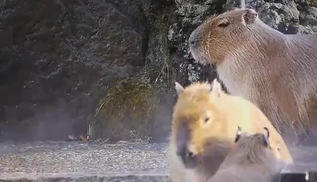Watch and share Capybara GIFs on Gfycat
