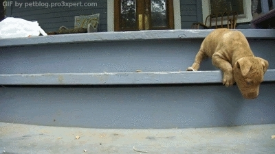 aww, cute, dog, dogs, gif, gif animation, gif set, mastering stairs, pet, pet blog, petcorner, pets, pitbull, puppies, puppy, Puppy mastering the stairs and defeating fear .. [video] GIFs