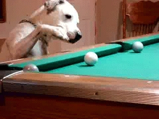 gif, gifs, dog playing snooker GIFs