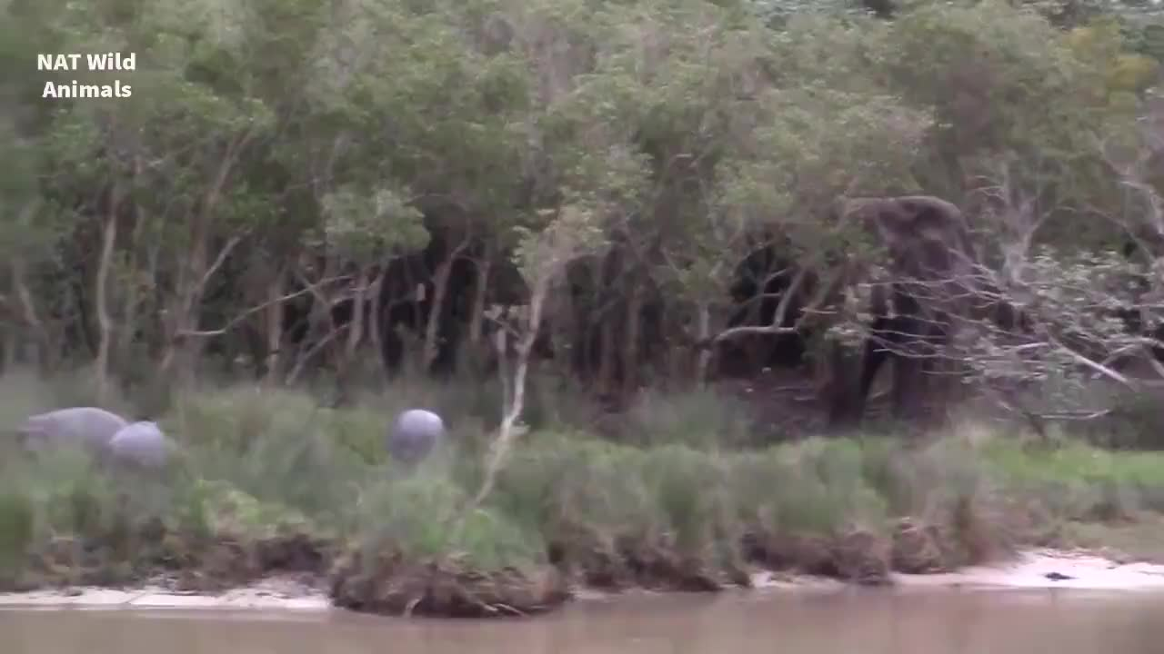 A group of hippos having second thoughts about standing off with an African bull elephant GIFs