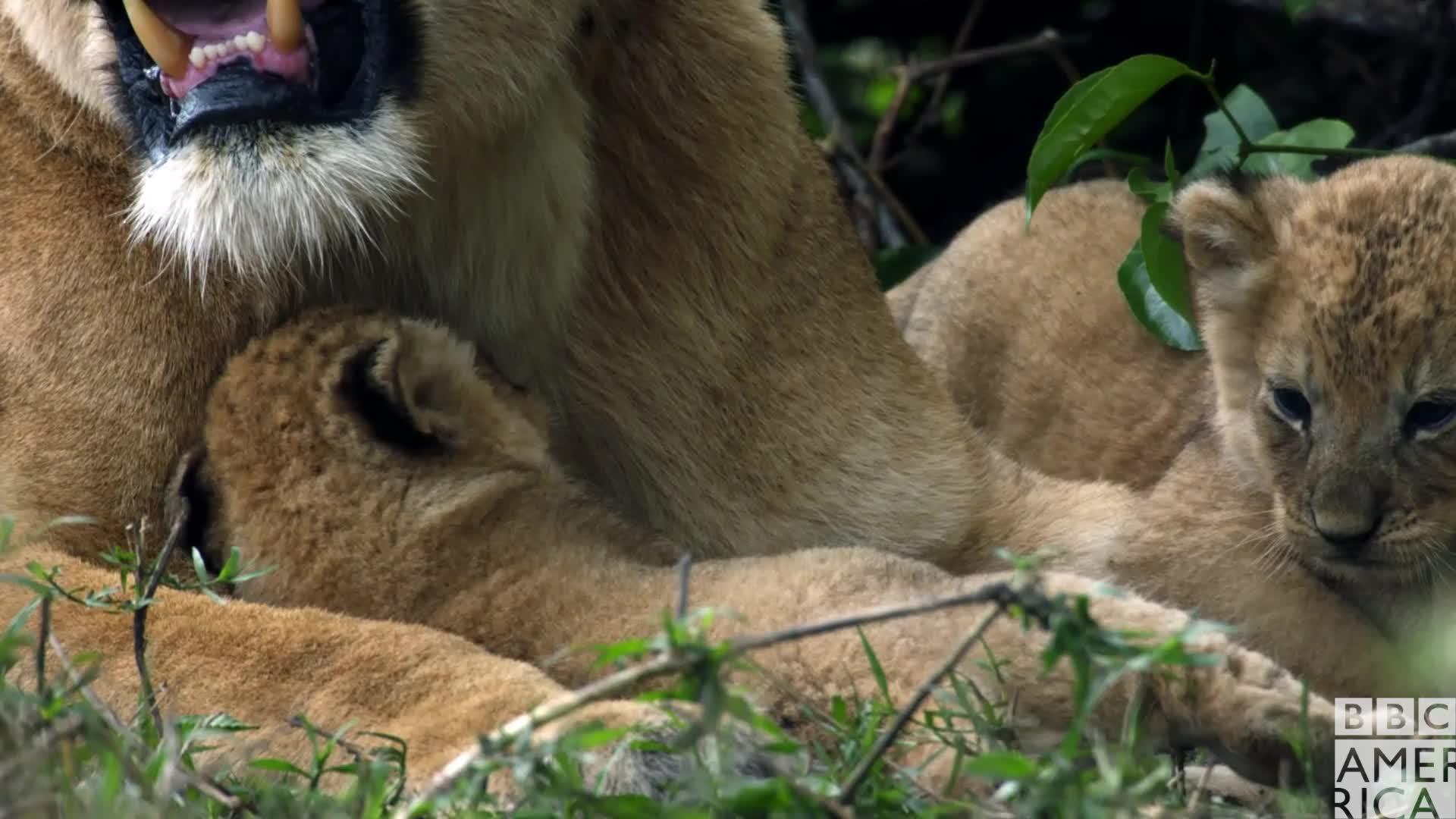 animal, animals, awww, bbc america, bbc america: dynasties, dynasties, hug, hugs, lion, lions, love, Dynasties Lion Cub Hug GIFs