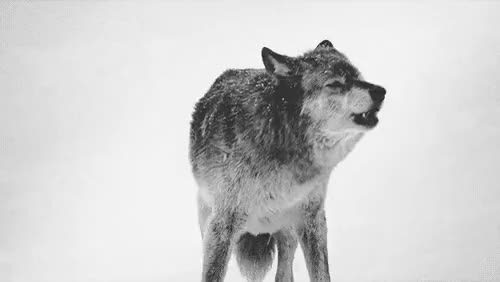 Watch and share I Love This Animal GIFs and I Love Wolves GIFs on Gfycat