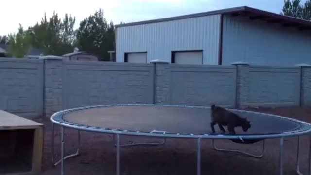 Watch Baby Goat on a trampoline GIF on Gfycat. Discover more related GIFs on Gfycat