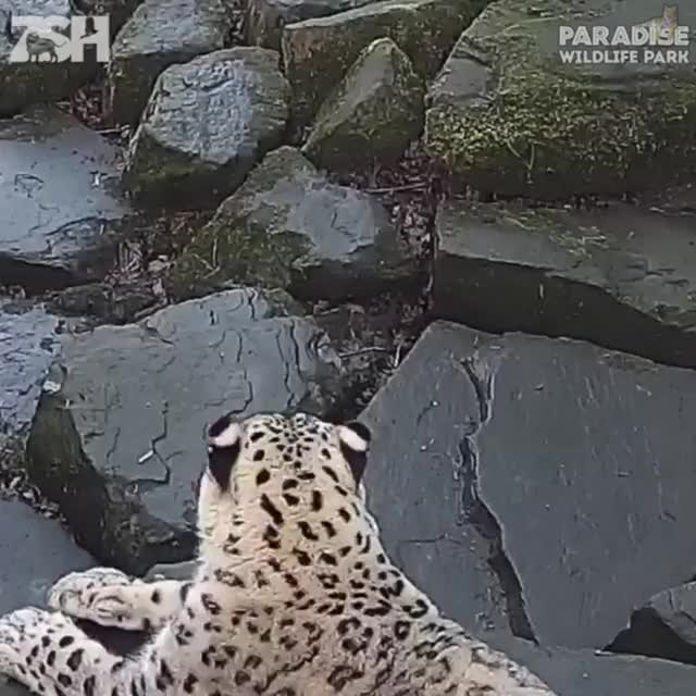 Watch Snow leopard freaks out when it notices new camera GIF on Gfycat. Discover more Chris_Isur_Dude GIFs on Gfycat