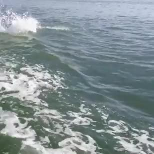 Watch Atlantic Bottlenose Dolphins in the Gulf of Mexico - one of  GIF on Gfycat. Discover more I CAN FINALLY GIF THIS VIDEO, animal gif, cetacean, cetaceans, dolphin, dolphin gif, dolphins, florida, gulf of mexico, marine life, marine mammal, nature, ocean, ocean gif, ocean life, wild animal, wild dolphin, wildlife GIFs on Gfycat