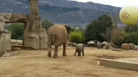 babyelephants, bioacoustics, elephant, greeting, mkhaya, safari park elephants, sdzsafaripark, tinytrunks, umngani, *SOUND ON* Umngani teaching Mkhaya a traditional greeting call as they meet up with the rest of the family. @sdzsafaripark 🎥 Keeper Evan GIFs