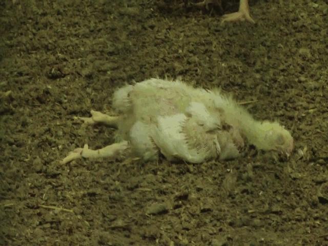 En död kyckling på golvet omgiven av levande kycklingar