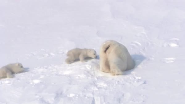 bearcubgifs, bears, polar bear, We are going home with our mama, bye-bye for now human (reddit) GIFs