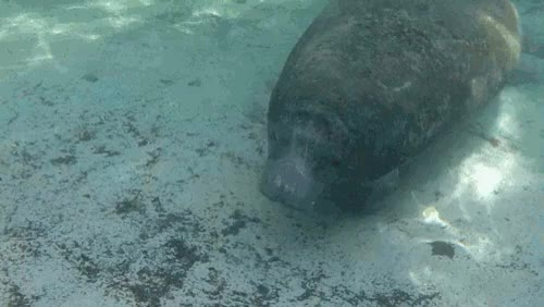 Watch and share Florida GIFs and Manatee GIFs on Gfycat