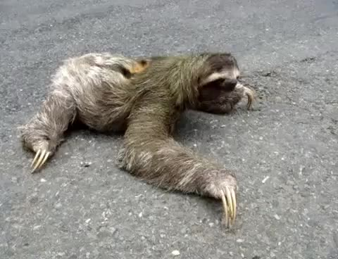Watch this sloth GIF on Gfycat. Discover more animals, costa, endangered, rica, sloth, species GIFs on Gfycat