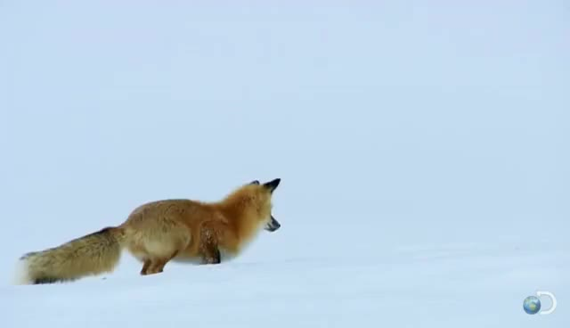Watch and share Fox Dives Headfirst Into Snow | North America GIFs on Gfycat