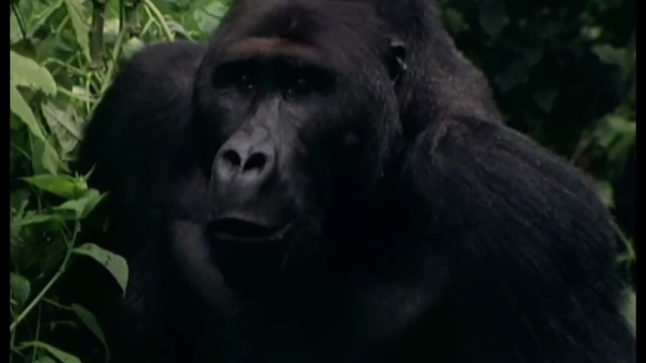 Whatcouldgowrong, animaltextgifs, Holding a gorilla baby in the wild (reddit) GIFs
