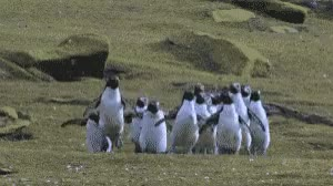 Watch this curated GIF by The GIF Smith (@sannahparker) on Gfycat. Discover more awww, cute, excited, frolicking, happy, penguins, wildlife, world wildlife day GIFs on Gfycat