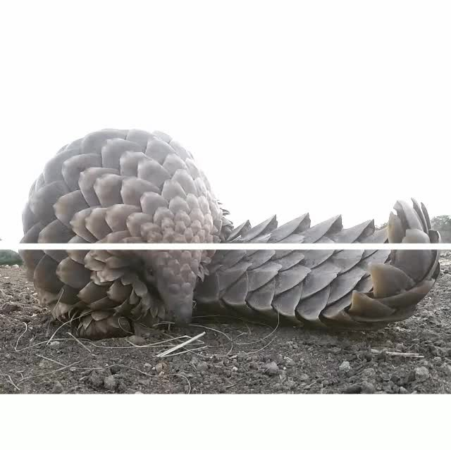 SplitDepthGIFS, gifs, Pangolins are unique anteater-like mammals that are covered in keratin scales. While people often haven't heard of them, they are actually the world's most trafficked animal. (reddit) GIFs