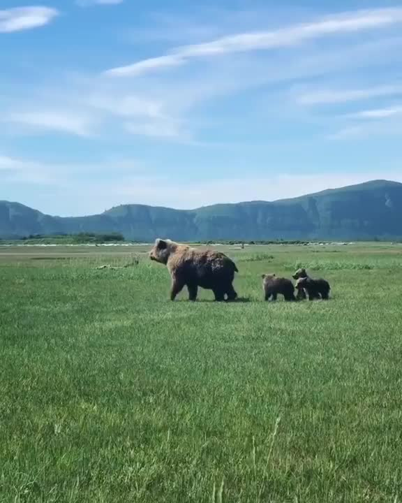 Grizzly bear cubs mimicking their mamma when she stands on her hind legs GIFs