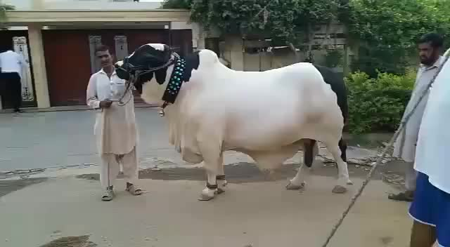 Watch Heaviest Bull Qurbani 2016-17 Bakra eid in Karachi Pakistan GIF on Gfycat. Discover more related GIFs on Gfycat