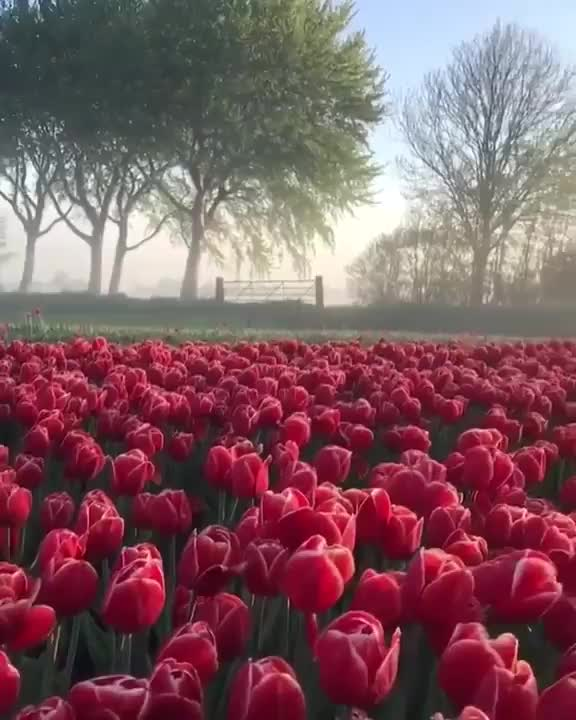 Watch A sun setting over a field of tulips in the Netherlands GIF by tothetenthpower (@tothetenthpower) on Gfycat. Discover more related GIFs on Gfycat
