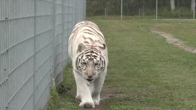 Watch and share Big Cat Rescue GIFs and Cat Videos GIFs by Norman-Freak89 on Gfycat