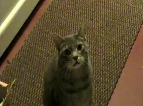 cat, kitten, kitty, meow, Hey Cat. Hey GIFs
